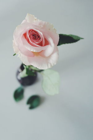 pink rose Indoors  No People Pink Rose Flower Pink Roses Rose - Flower Flower Flower Head Studio Shot Petal Close-up Fragility Day Indoors  Beauty In Nature Nature Pink Rose Roses Open Space Copy Space Pink Color White Background Freshness Flowers Indoors  Millennial Pink