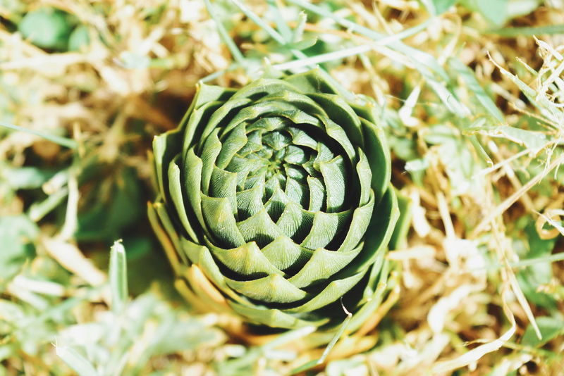 No People Close-up Day Nature Outdoors Pattern Fibonacci Divine Beauty Beauty In Nature Green Patagonia Macro Photography
