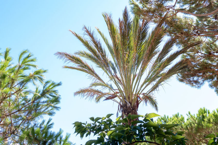 Mediterranean  Beauty In Nature Branch Clear Sky Day Focus On Foreground Green Color Growth Leaf Low Angle View Nature No People Outdoors Palm Tree Plant Plant Part Sky Sunlight Tranquility Tree Tropical Climate Tropical Tree