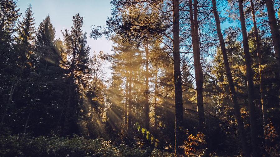 Autumn forest with beatiful falling sun rays in Saint Petersburg province Otradnoe Tree Plant Forest Land Growth Tranquility Beauty In Nature WoodLand Nature Tranquil Scene No People Day Tree Trunk Trunk Scenics - Nature Sunlight Non-urban Scene Outdoors Sky Low Angle View Coniferous Tree