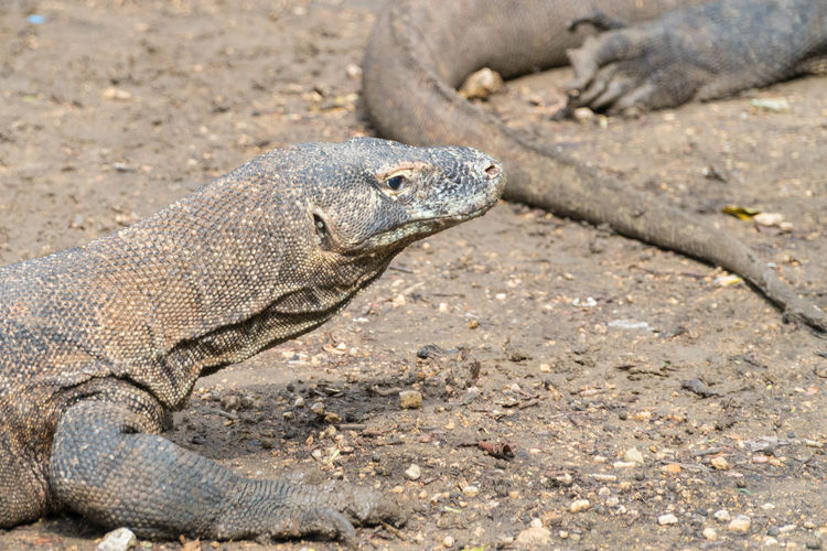 Komodo dragon (Varanus komodoensis) in Komodo National Park, Indonesia. Animals, Island, Komodo Dragon National Park Nature Varanus Komodoensis Conservation, Dragon, Endemic, Indonesia, Komodo Komodo Island Komodo National Park Komodo, Predators, Reptiles Wildlife,