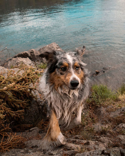 Happy, wet dog shakes water after swim in river