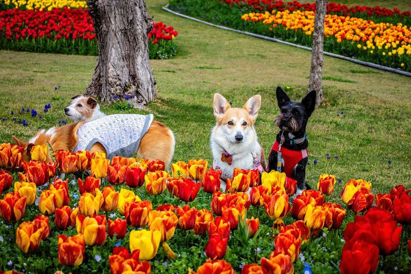 Group Photo Anko Coron Seri  Welsh Corgi Corgi Kinoko Jackrussellterrier Jackrussell Tulips Plant Flower Flowering Plant Mammal Animal Animal Themes Freshness Nature One Animal Growth Pets Domestic Animals Beauty In Nature Domestic Vertebrate Fragility Day No People Dog Canine
