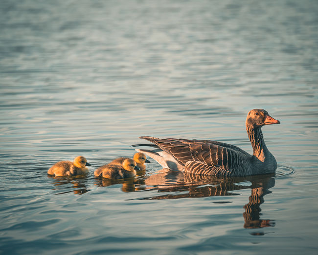 Baby birds swimming in a lake with mother