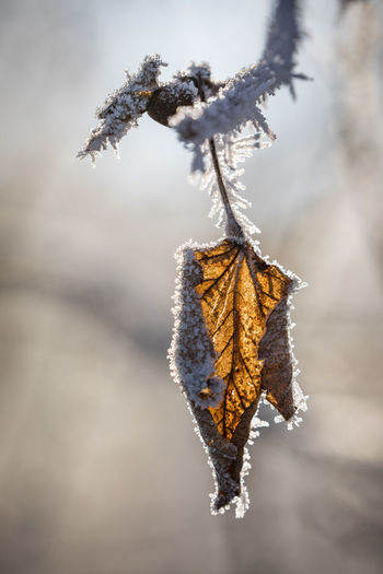 Autumn Beauty In Nature Change Close-up Cold Temperature Day Dried Plant Dry Focus On Foreground Frozen Leaf Nature No People Outdoors Snow Twig Winter