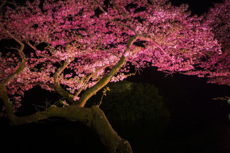 Pink cherry blossoms in spring at night