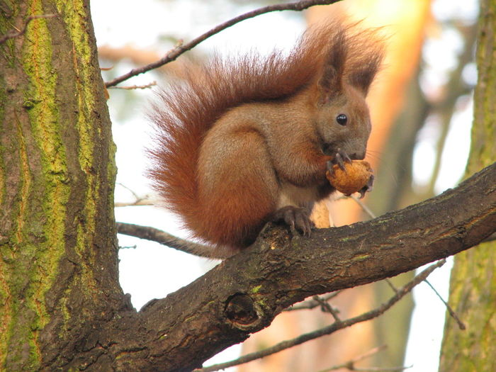 Close-up of eurasian red squirrel with nut on tree branch
