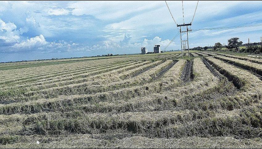 Harvested Paddy Fields Pearl Rice Sekinchan, Malaysia