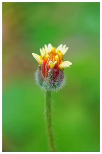 Lonely Macro Photography Close-up EyeEm Selects Photographylovers Photography Nature Nature Photography Naturelovers Flower Head Flower Bee Springtime Insect Uncultivated Petal Wildflower Leaf Pollination Dandelion Seed Dandelion Plant Life Softness Blossom Single Flower