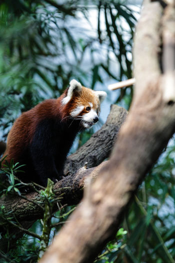 Low angle view of red panda sitting of tree trunk