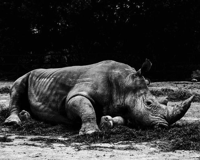 Rhinoceros Lying On Field