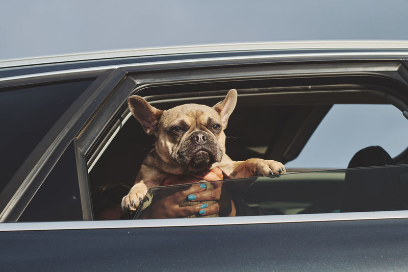 Portrait of a french bulldog puppy out of a car window in the sun