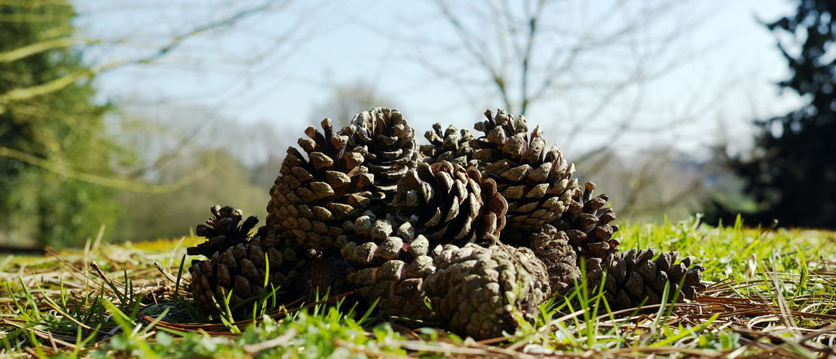 A form of Cones 01. The fascination for cones has always been there ! I love their form, their intricate pattern and their ability to forecast the weather ! Sigma Dp 2 Quattro. Edit in sigma pro and Ps. Abundance Beauty In Nature Branch Check This Out Close-up Collection Cones Day EyeEm Gallery EyeEm Nature Lover From My Point Of View Growth Heap Nature No People Outdoors Pattern, Texture, Shape And Form Pine Cone Sky Textures And Surfaces Tree Walking Around