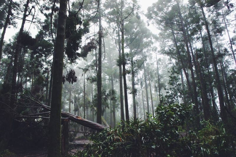 Tree Nature Forest Tranquility Scenics Low Angle View No People Outdoors Primordial Foggy Tranquil Scene Foggy Morning