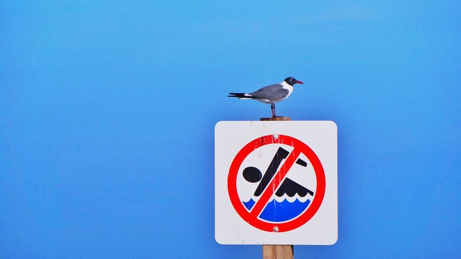 Side View Of Black-Headed Gull Perching On No Swimming Sign