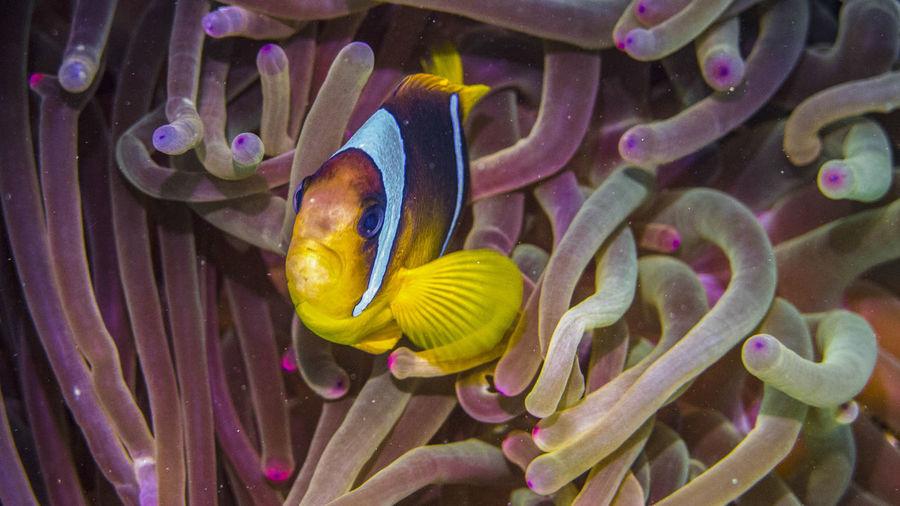 Clowsfisch im Roten Meer Anemonenfisch Unterwasserwelt Amphiprioninae Anemone Animals In The Wild Beauty In Nature Clown Fish Sea Anemone Sea Life Underwater underwater photography Unterwasserfotografie Water