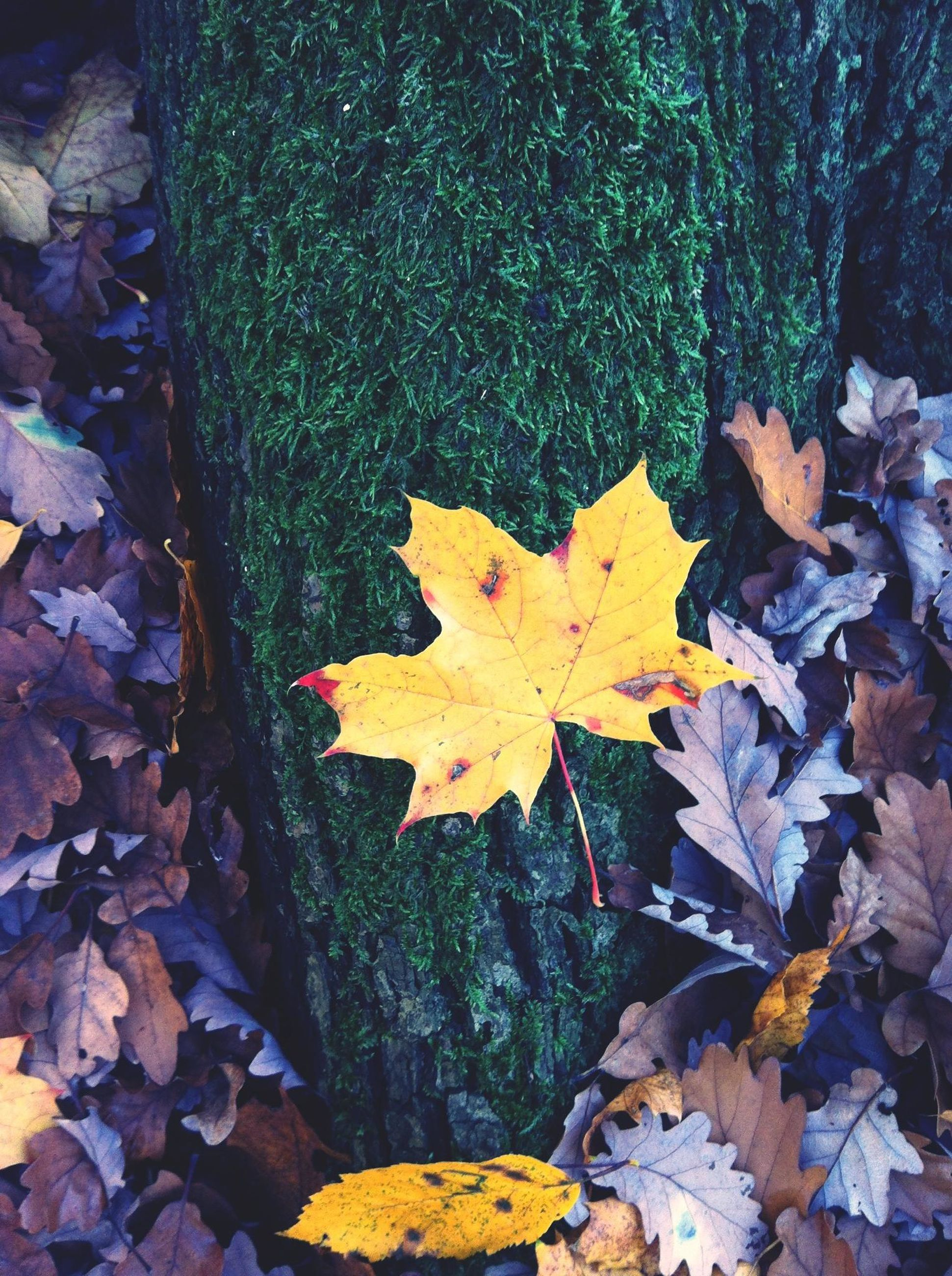 autumn, leaf, change, season, leaves, maple leaf, dry, fallen, leaf vein, natural pattern, nature, natural condition, yellow, falling, close-up, orange color, high angle view, day, tranquility, outdoors