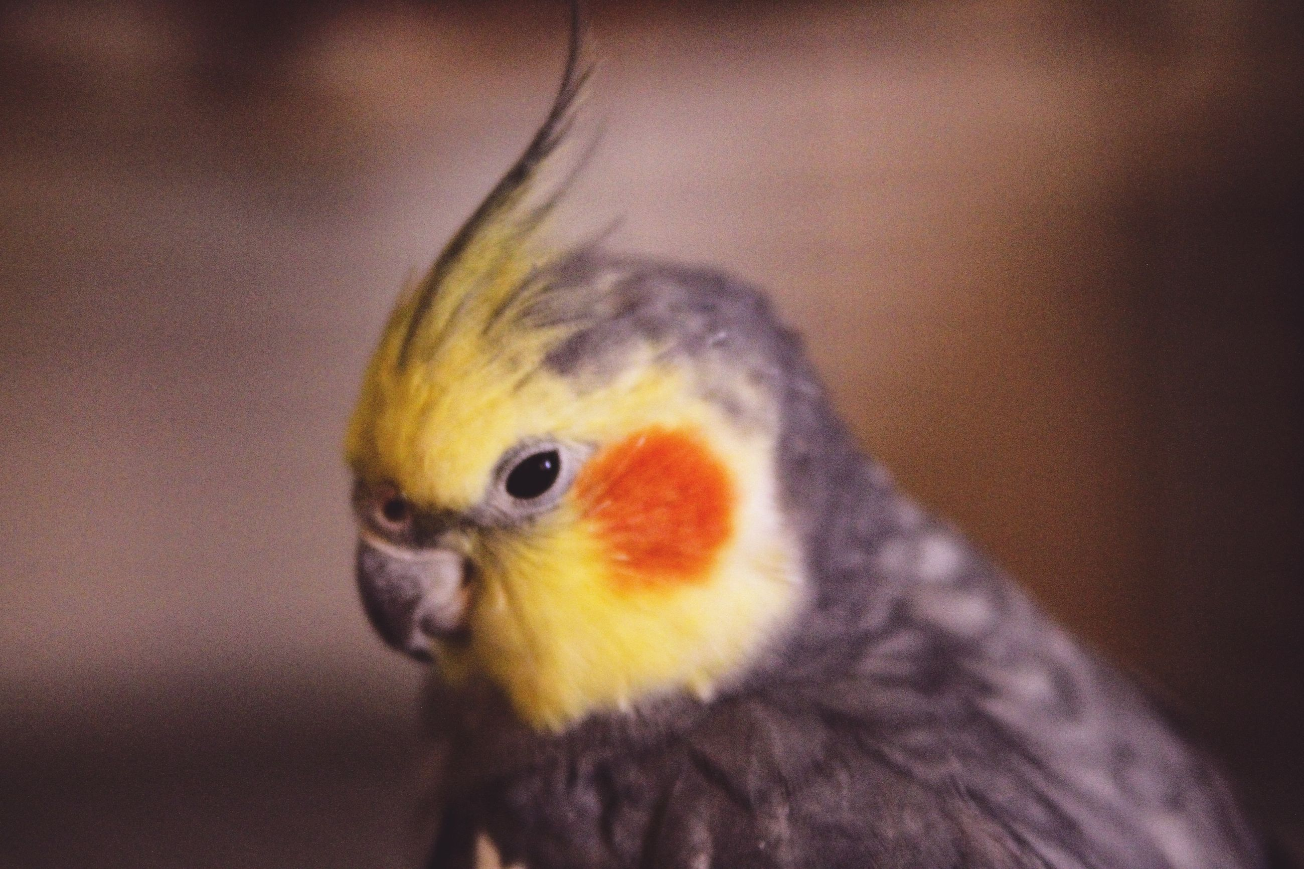 animal themes, animal, one animal, bird, vertebrate, close-up, focus on foreground, animals in the wild, animal wildlife, no people, beak, selective focus, yellow, indoors, parrot, orange color, domestic, animal body part, pets, eye, animal head, animal eye