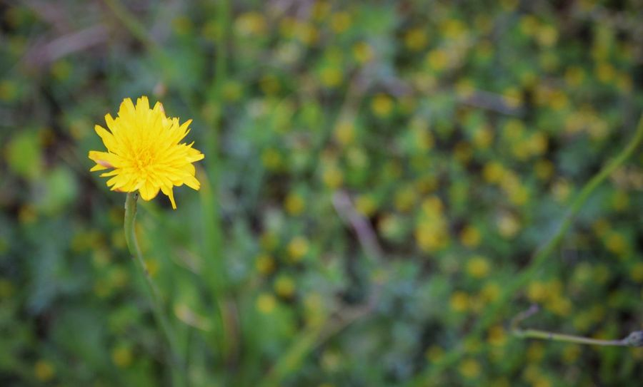 Beauty In Nature Blooming Close-up Day Field Flower Flower Head Fragility Freshness Growth Nature No People Outdoors Plant Yellow