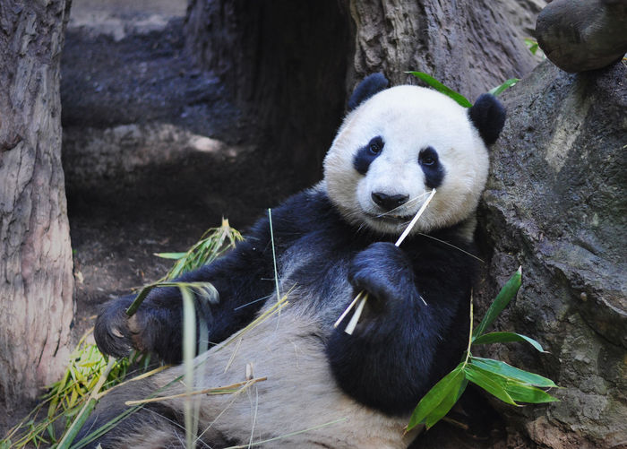 Animal Themes Animals In The Wild Black And White California California Love California Panda Mammal One Animal Panda Panda Bear Panda Eating Panda Smiling Pandas Wildlife Zoo Zoology Animals