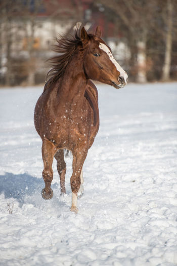 Snow Winter Cold Temperature Horse Mammal Animal Animal Themes Field One Animal Motion Day Nature Running Snowing No People Pets