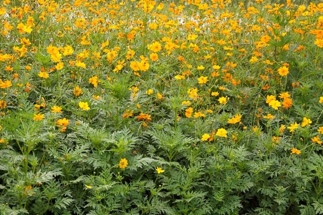 yellow cosmos sulphureus flower in nature garden Cosmos Flower Cosmos Sulphureus Beauty In Nature Blooming Blossom Close-up Field Flower Flower Head Flowerbed Freshness Growth Nature No People Outdoors Petal Plant Yellow