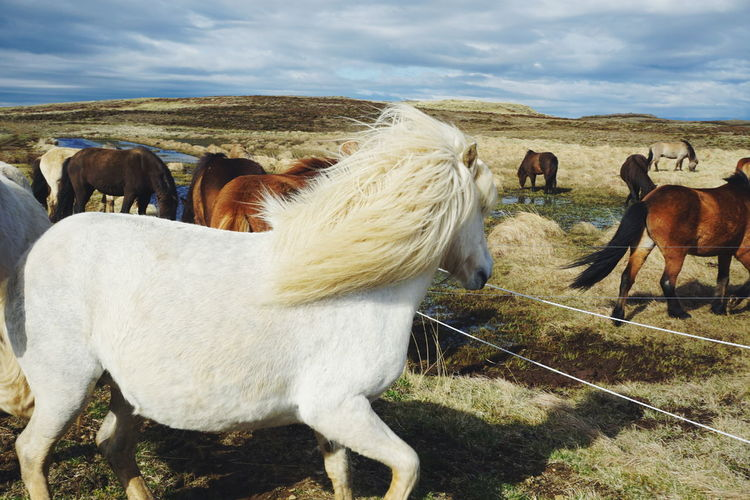 Icelandic horses on field against cloudy sky