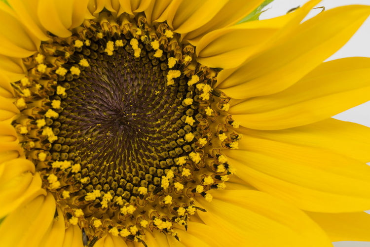 Close to the sun Flower Flowering Plant Yellow Fragility Flower Head Vulnerability  Petal Freshness Beauty In Nature Pollen Close-up Sunflower No People Full Frame Pollination Plant