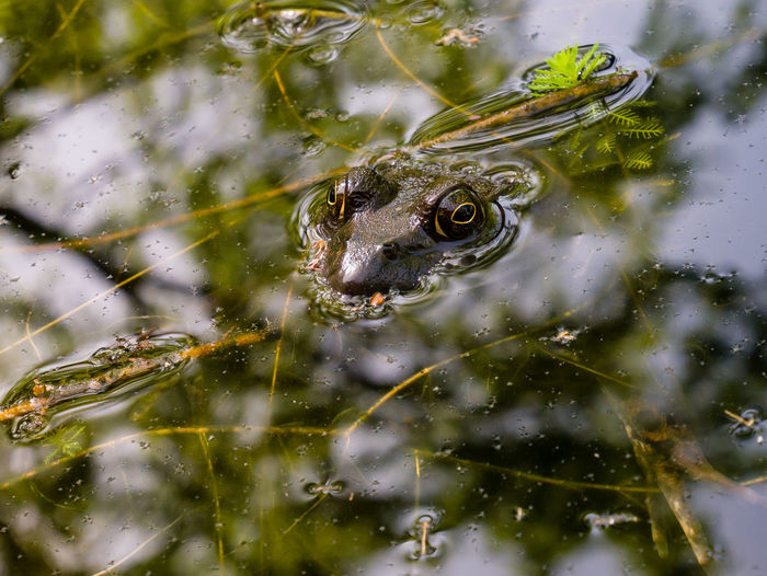 Close-up of bullfrog in pond