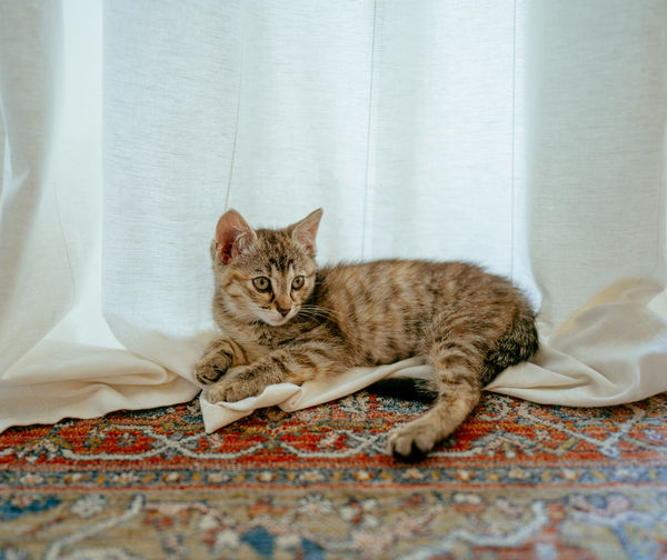 Portrait of cat relaxing on curtain