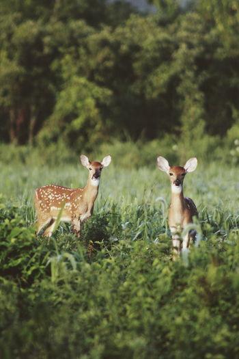 Twin deers in a field
