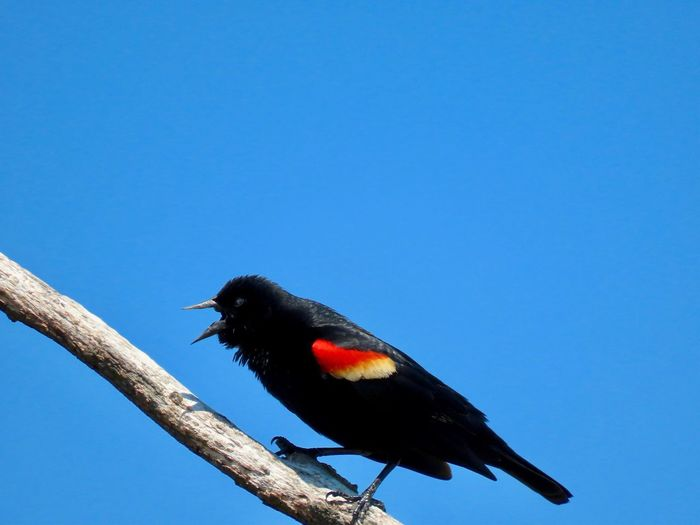 Red winged black bird perched on a bare tree branch clear blue sky birdwatching Birds of EyeEm beauty in nature Animal Wildlife Animal Themes Bird One Animal Copy Space No People