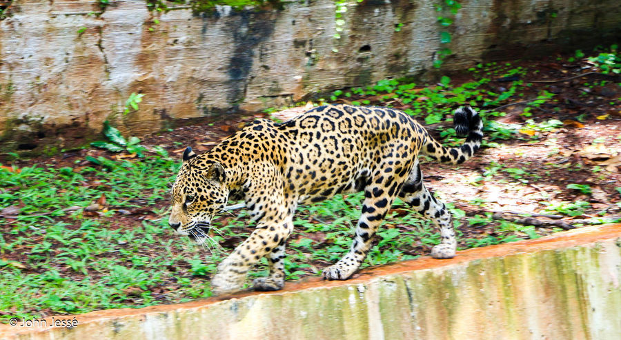 Forest Onça Pintada Amazonia Animal Themes Animals In The Wild One Animal Mammal Animal Wildlife Spotted No People Outdoors Leopard Day Animal Markings Forest Nature Growth Safari Animals Cheetah Everyday Carajás Nature Nature Photography First Eyeem Photo