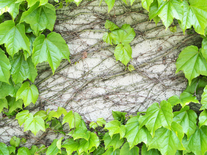 Grass covered wall (草に覆われた壁) Ad Copy Space Grass Green Nature Plant Wall Background Background Material Black Color Brown Close-up Gray Ivy Landscape Leaf Margin Material No People No Person Nobody Takarazuka Text Space White 背景