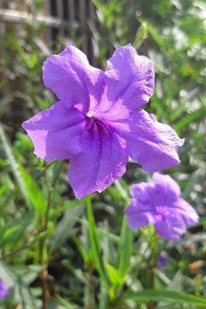 PhonePhotography Flower Head Flower Petunia Petal Iris - Plant Springtime Purple Crocus Close-up Plant Plant Life In Bloom Blossom Flowering Plant