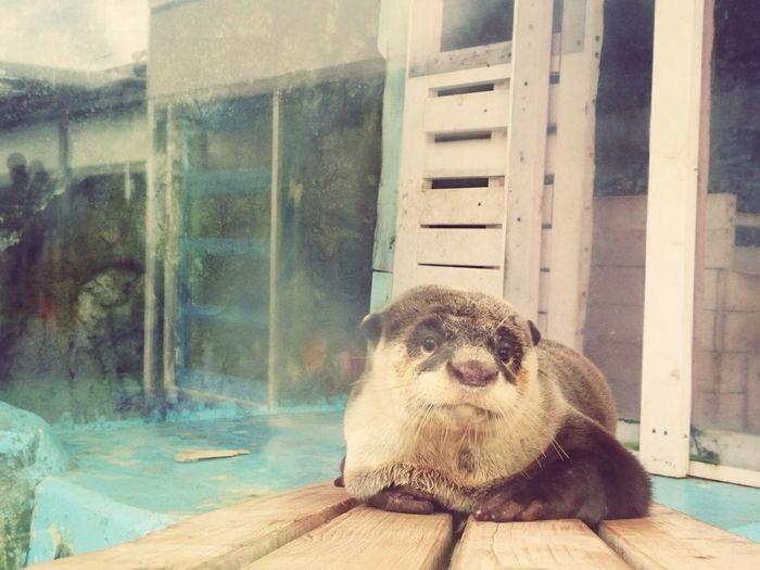 Otter Animal Cute No People Water カワウソ 癒し系 ほっこり かわいい