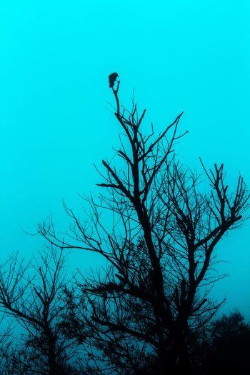 Bare Tree Crow Tree
