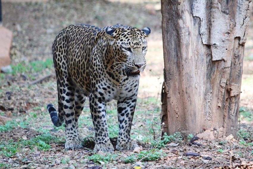 Tiger.. looking for target EyeEmNewHere Leopard Spotted Animals In The Wild Animal Wildlife Animal Animals Hunting Nature Beauty In Nature Mammal Safari Animals Wilderness Area Outdoors Animal Themes Cheetah