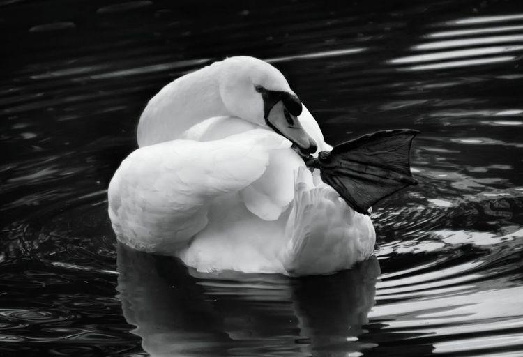Close-up of swan preening in lake