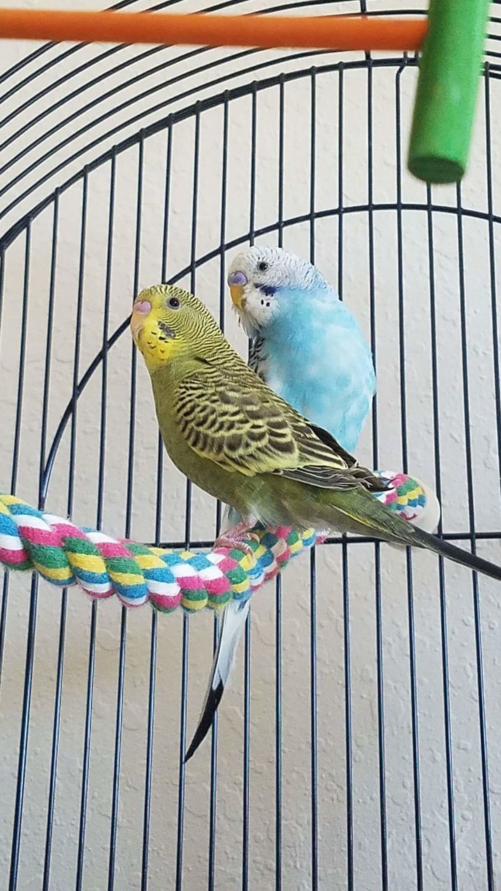 bird, perching, animal themes, budgerigar, cage, no people, parrot, animal wildlife, outdoors, day, animals in the wild, nature, close-up