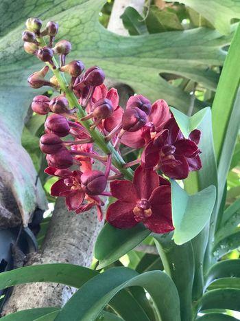 ช้างแดงที่บ้านบานแล้วคะ Growth Plant Nature Leaf Flower Outdoors Beauty In Nature Blooming Petal No People Freshness Thai Orchid ช้างแดง กล้วยไม้ กล้วยไม้ไทยนามช้างแดง กล้วยไม้ป่า กล้วยไม้ที่บ้าน Close-up Day Flower Head