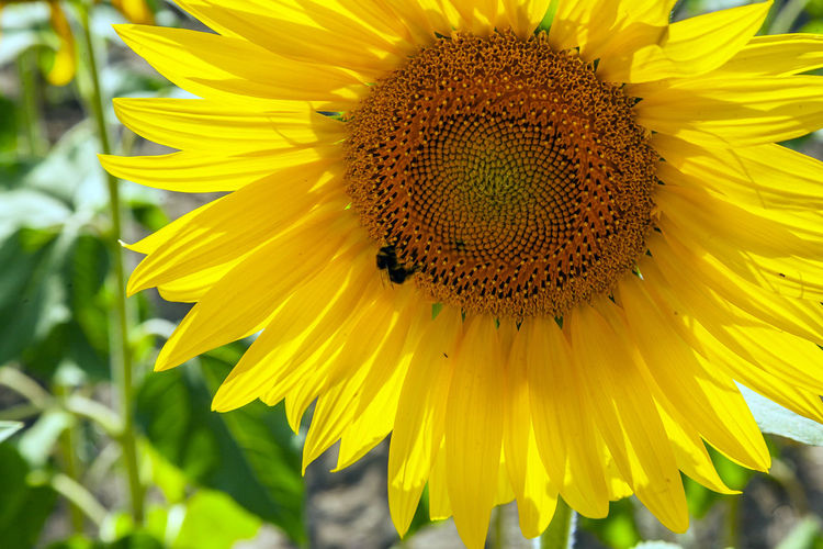 Flowering Plant Flower Yellow Flower Head Petal Fragility Vulnerability  Beauty In Nature Inflorescence Freshness Growth Plant Close-up Pollen Sunflower Insect Animal Wildlife Animal Animal Themes Animals In The Wild No People Pollination Outdoors