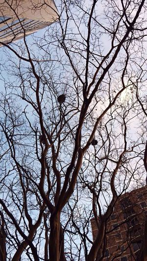 Bird Nest Bird Nests Low Angle View Bare Tree Tree Branch Nature No People Beauty In Nature Outdoors Sky Tranquility Scenics Day
