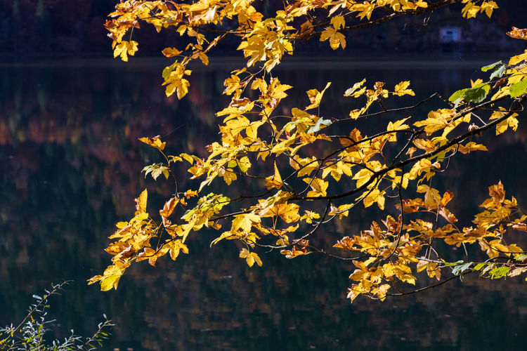 Close-up of yellow autumn leaves on tree