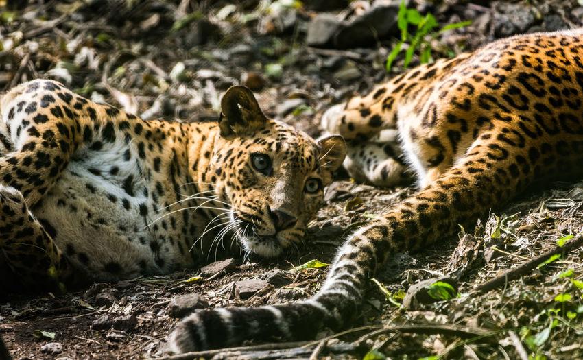 Close-up of tiger