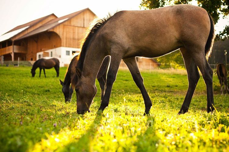 Grass Animal Themes Domestic Animals Horse Farm Field Livestock Mammal Grazing Animal Agriculture Working Animal No People Nature Pasture Outdoors Paddock Day Hoofed Mammal Beauty In Nature Horses