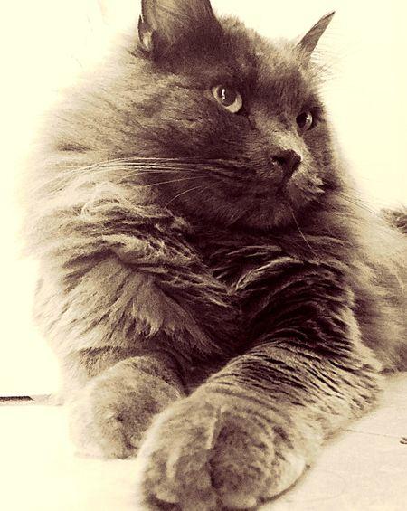 Zufolo Cat♡ Cats Cat Cat Lovers