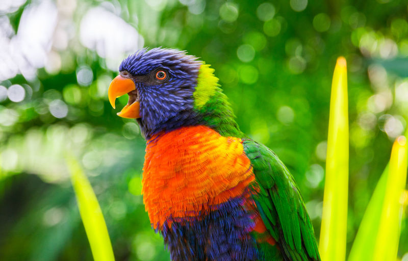 Colorful rainbow lorikeet parrot Parrot Animal Multi Colored One Animal Bird Close-up Rainbow Lorikeet Animals In The Wild Focus On Foreground Vertebrate Nature No People Beauty In Nature Perching Animal Themes Animal Wildlife Day Outdoors Green Color Plant Australian Landscape Beck Lory Lorikeet Avian Haematodus Trichoglossus Tropical Wildlife Climate Caribbean Guadeloupe Green Blue Orange Color