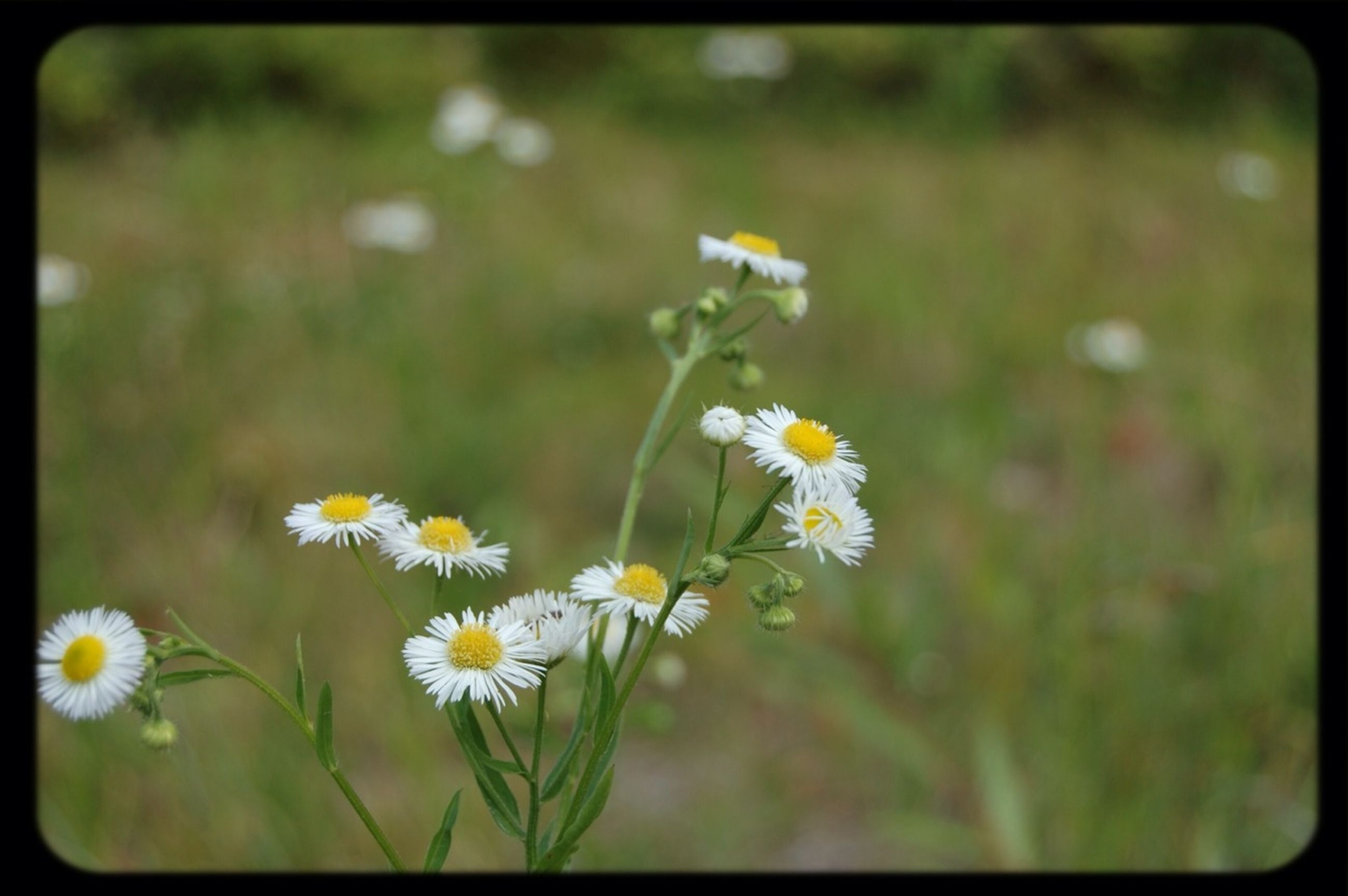 flower, freshness, fragility, petal, growth, flower head, beauty in nature, transfer print, blooming, white color, focus on foreground, nature, plant, yellow, daisy, field, close-up, auto post production filter, in bloom, stem