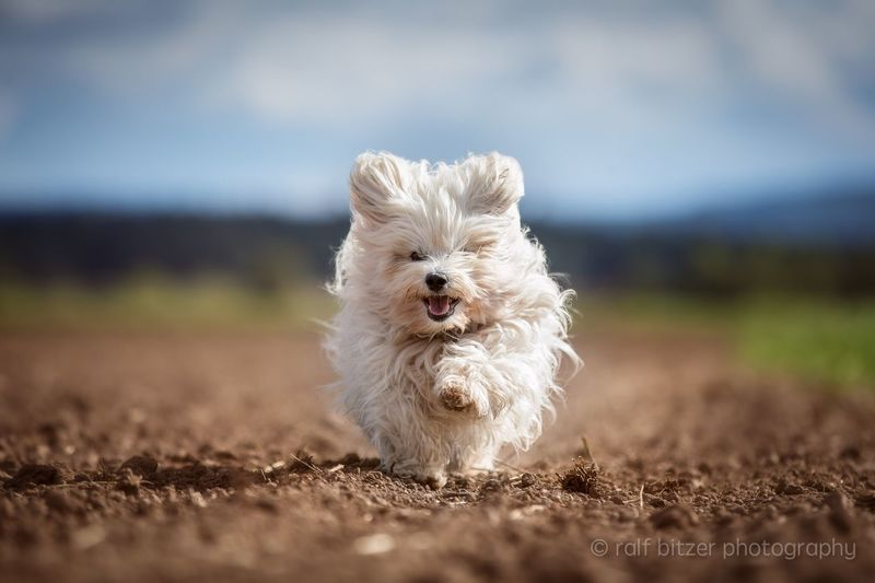 Outdoors Pets Dog Domestic Animals Animal Themes Mammal One Animal West Highland White Terrier No People Sand Day Motion Nature Shih Tzu
